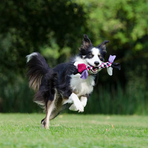 border-collie-running-dog-playful