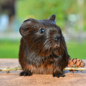 Brown Pet Guinea Pig Cute Rodent Animal Nager