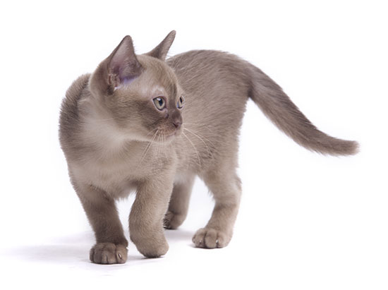 pretty little Burmese breed cat of pale color