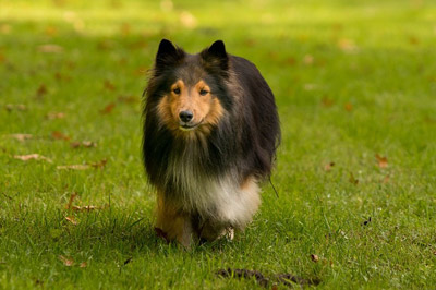dog-sheltie-running-meadow