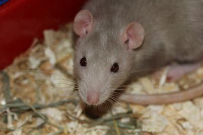 rat-rodent-eat-food-curious