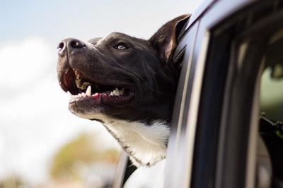 animal-big-dog-breed-breeze