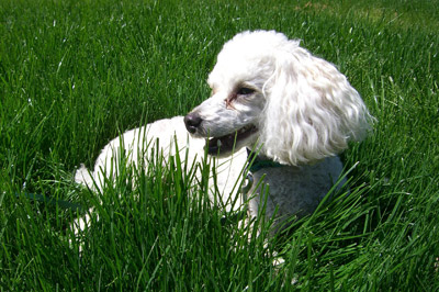 Cute-Puppy-Poodle-Dog-Canine-Pet-Purebred-Breed
