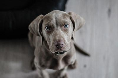 Dog Animal Portrait Puppy Snout Weimaraner