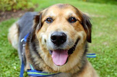 dog-hybrid-animal-lying-attention