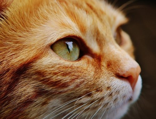 5 Common Health Conditions in Senior Cats