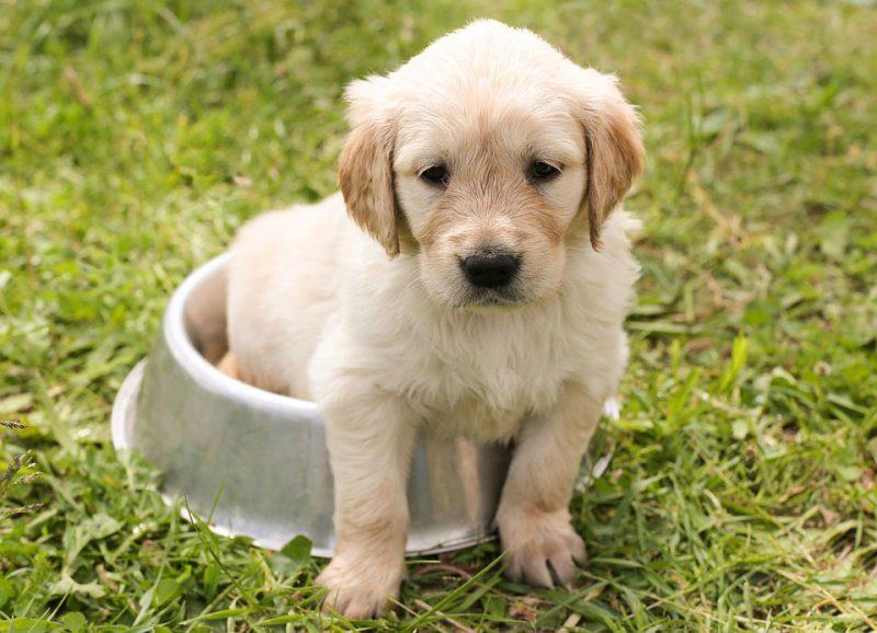 puppy-golden-retriever-dog