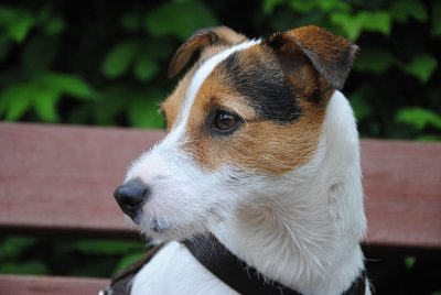 Dog Terrier small