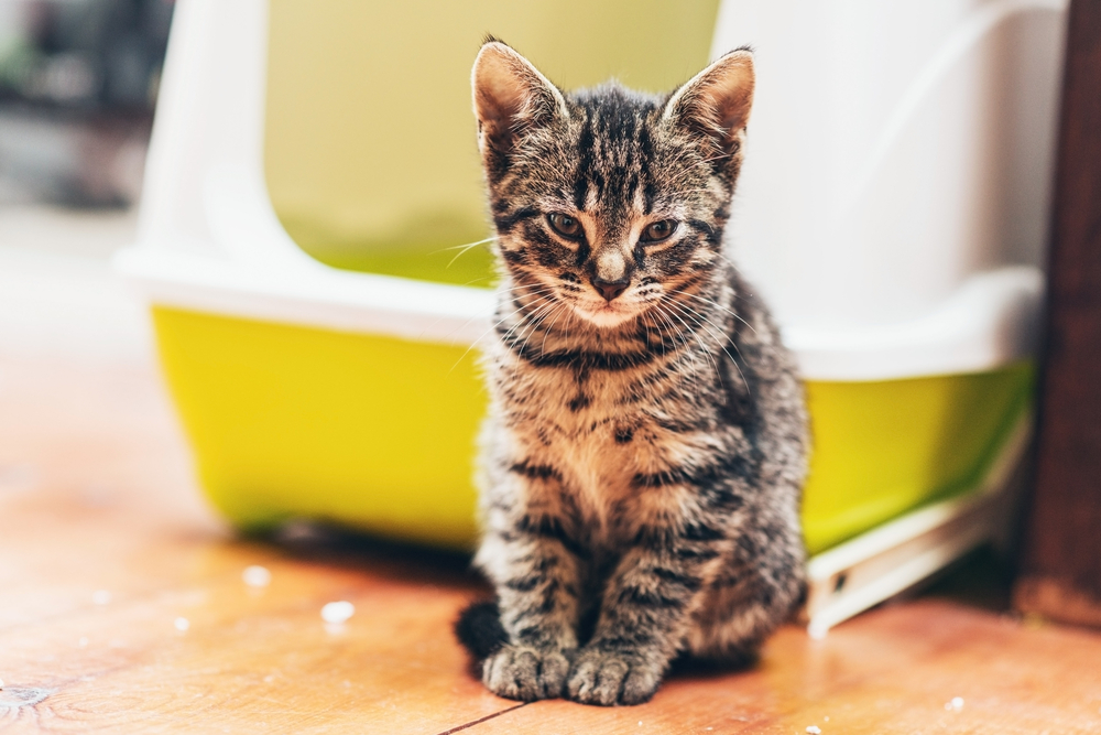 Adorable brown European kitten looking at camera while sitting on the wooden parquet floor in front of a plastic yellow and white covered litter box or bed for cats kept indoors