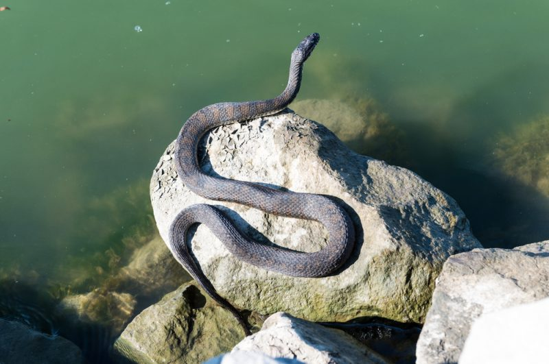 Water snake laying on the rocks enjoying the sunny day