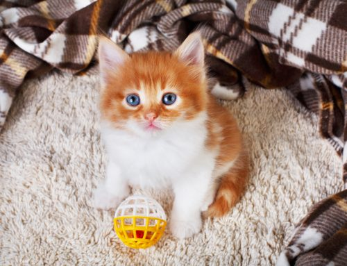 Beating Boredom: How to Provide Enrichment for Your Indoor Cat