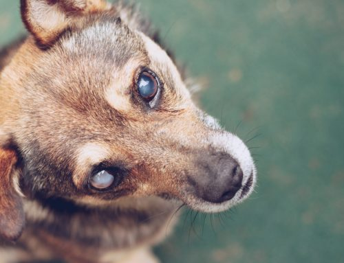 The Eyes Have it—Common Pet Eye Disorders